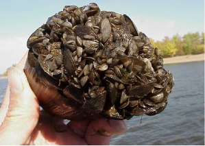 Zebra Mussels covering a fat mucket (Lampsilis siliquoidea) - Minnesota Department of Natural Resources